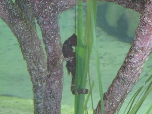 Seahorse at Gumbo Limbo, a sea turtle rescue I visited last week in southern Florida.