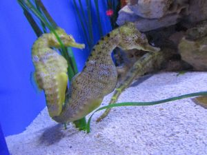 Seahorses at the Arizona-Sonora Desert Museum